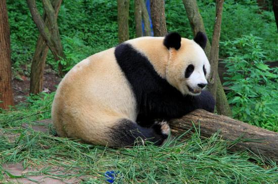 马来西亚租借熊猫产子 将向中国支付60万美元
