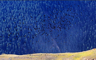 甘肃天祝群鸟飞舞场面壮观