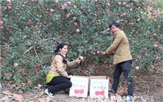 承德平泉县铁硒苹果喜获丰收