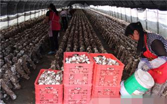 承德平泉精心打造食用菌产业