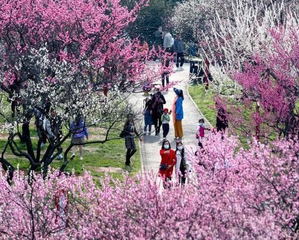 武漢東湖梅花盛開