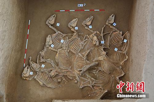 宁夏彭阳姚河塬西周遗址中,刀把形墓葬埋马12匹。供图