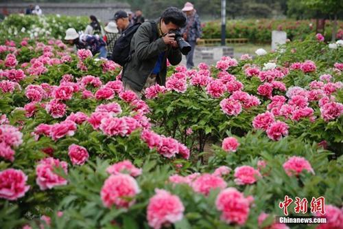 资料图:人们冒雨在圆明园牡丹前拍照留念。 中新社记者 崔楠 摄