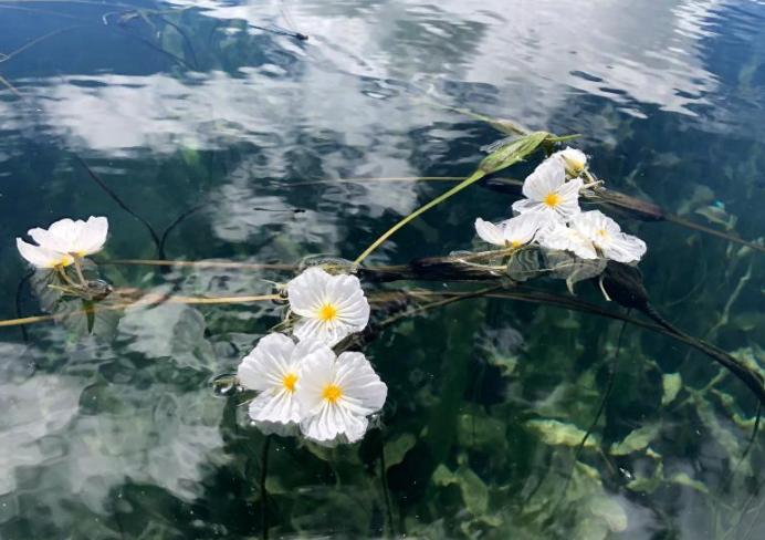 海菜花绽放泸沽湖