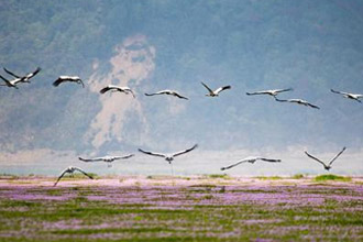 当越冬候鸟遇上蓼子花海