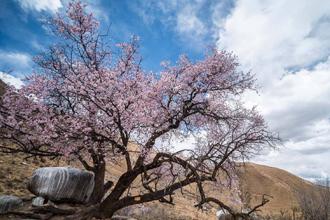 山寺桃花盛开时 最美西藏四月天
