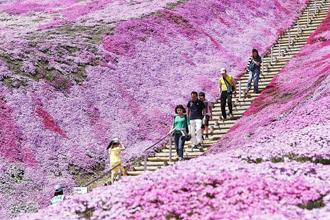 北海道芝樱盛放 超梦幻花海