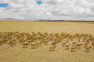 """西藏阿里地区现藏羚羊迁徙""""大军"""""""