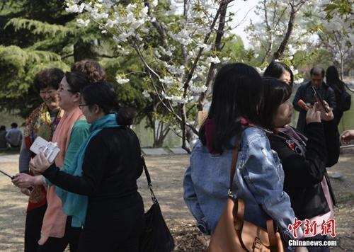 资料图:正在举办樱花节的玉渊潭公园吸引众多游客。图为游人在樱花树下拍照。中新社记者 满会乔 摄
