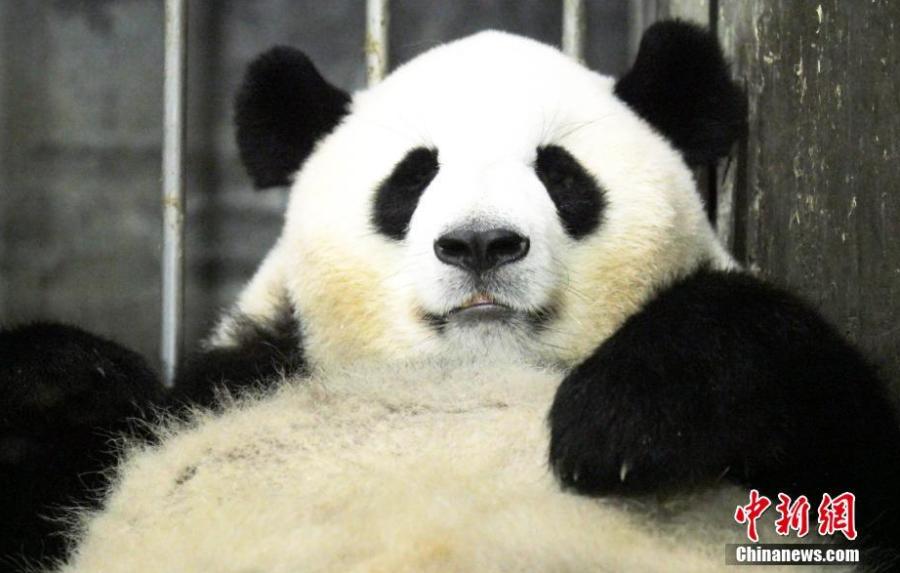 大熊猫二巧当妈呆萌照片亮了