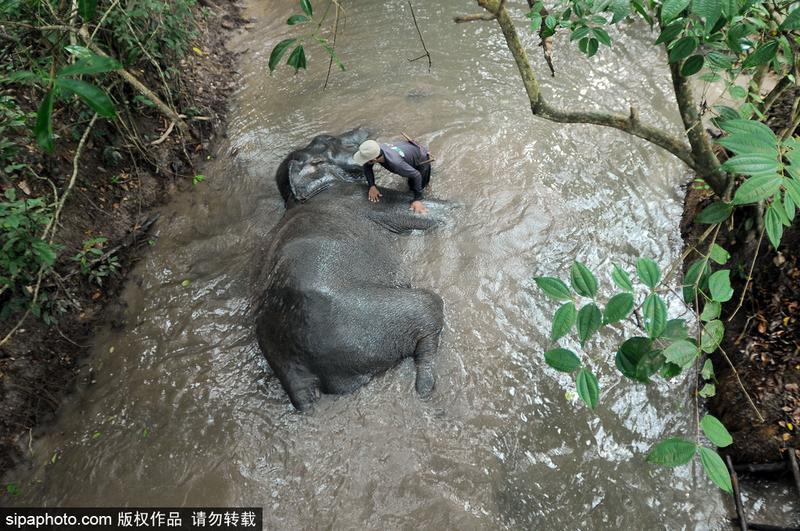 印尼大象河里洗澡 庞然大物任人擦洗图片