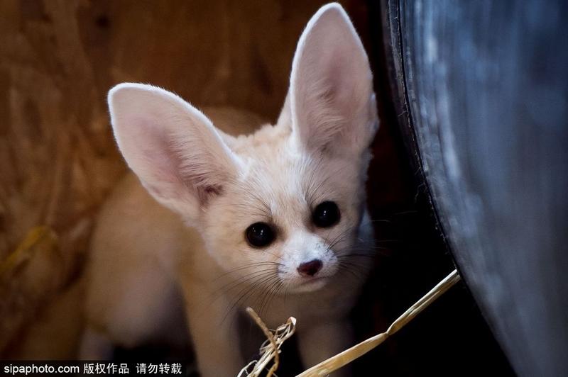 当地时间2017年8月3日,苏格兰五姐妹动物园,至今尚未成年的耳廓狐幼