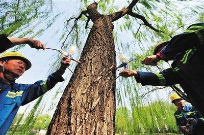 4月16日,人定湖公园,工人正在对柳树注射抑花药物,抑制飞絮生成。新京报记者 侯少卿 摄