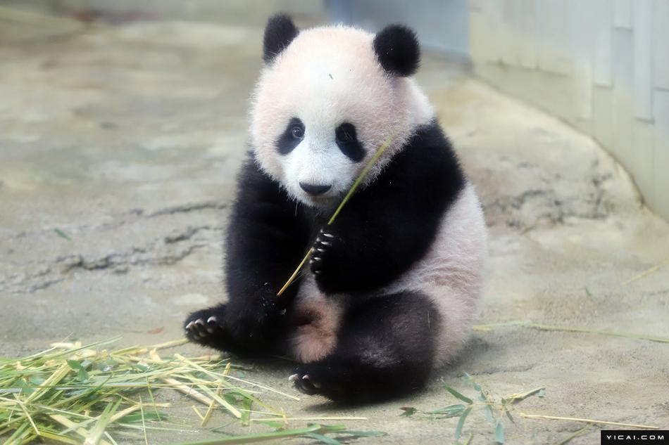 旅日大熊猫 香香 正式接受参观图片 63810 950x633