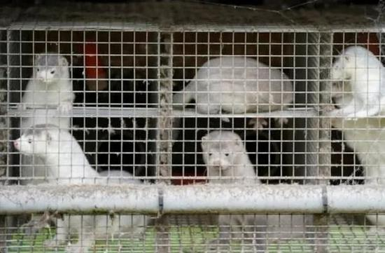 新京报:400多万只水貂尸体又挖出 丹麦是要闹哪样?