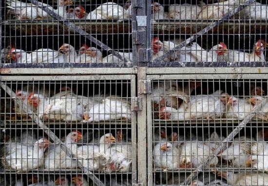 印度禽流感疫情已扩散至7个邦 多地开始紧急扑杀
