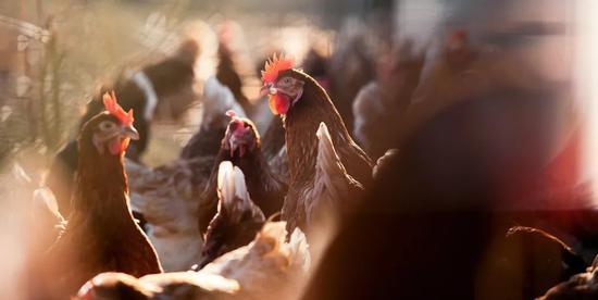 """""""吃鸡""""大国如何解决种源""""卡脖子""""问题?中国启动新一轮畜禽遗传改良计划图片"""