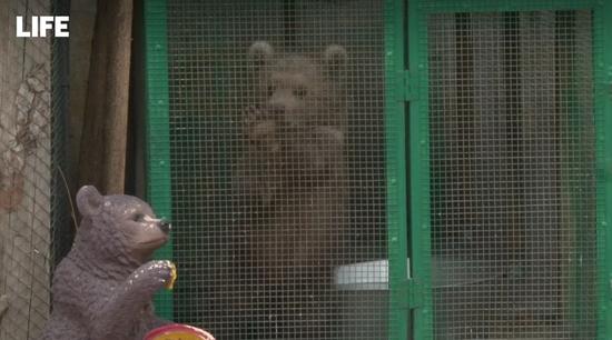 """俄罗斯一家人郊外捡到""""小狗崽"""" 收养后发现是只熊"""