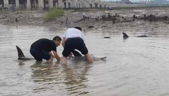 两只海豚在浙江宁海海滩搁浅 放归大海后又往岸边游 正在救援