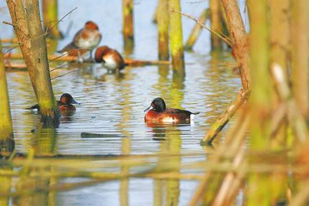 青头潜鸭现身成都白鹭湾湿地。邹滔摄