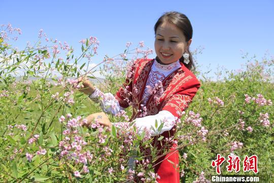 哈萨克族姑娘欣赏粉色小花。 巴合提别克 摄