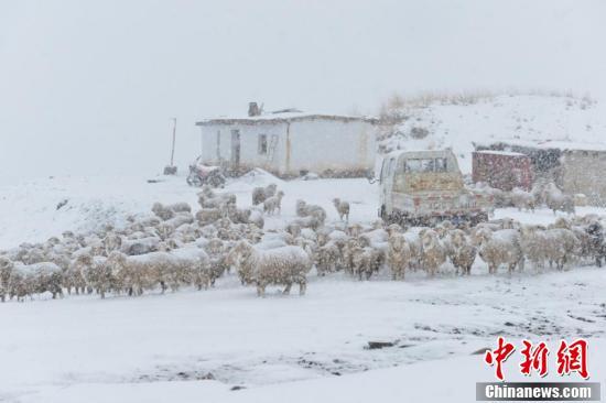 风雪中的羊群。