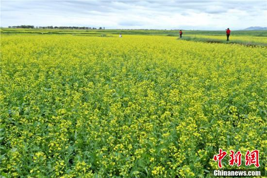 祁连山下油菜花盛开,成为一道别致风景。