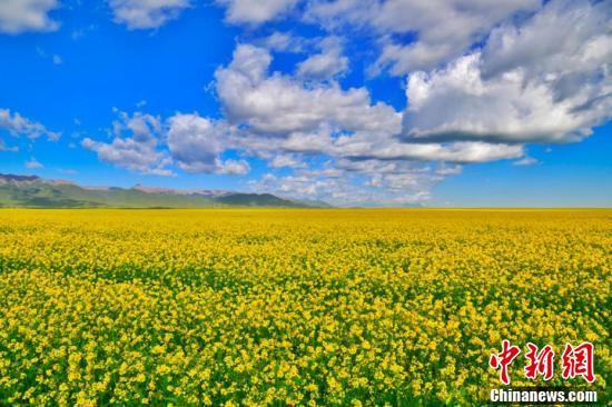 """油菜花盛开如""""金色海洋""""。"""