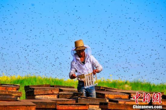 山丹马场油菜花开,引养蜂人来此养蜂采蜜。