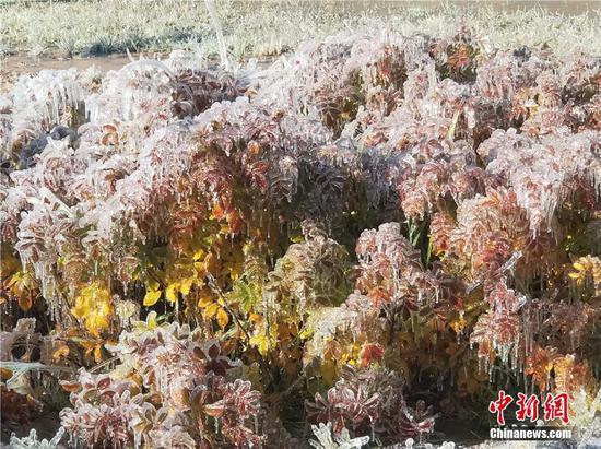 大面积的的树木花草上坠满冰花。索国民 摄