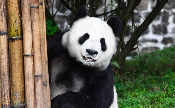 """旅美大熊猫""""白云""""""""小礼物""""回到四川""""老家"""""""