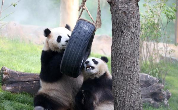 青藏高原首个大熊猫馆开馆