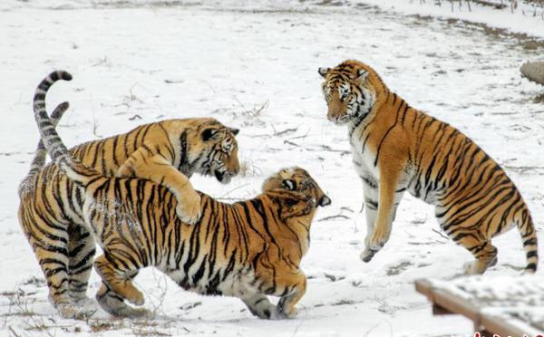 哈尔滨迎立冬后首场雪 东北虎雪地撒欢