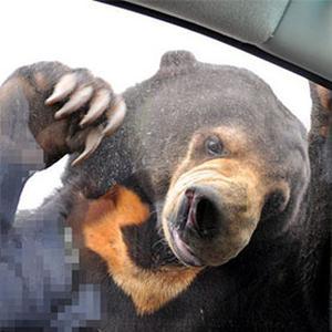 八达岭野生动物园游客开窗投食 熊扒住窗口不放
