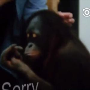 世界唯一大学毕业猩猩去世 曾患抑郁症 会 来自小浪同学爱吐槽 微博