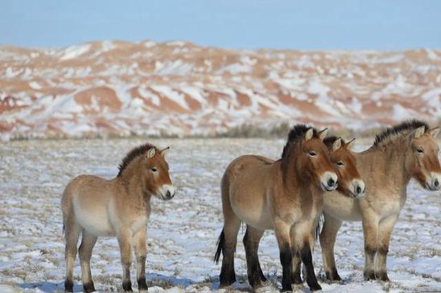 新疆福海县:三个泉野马成野化最成功野马群