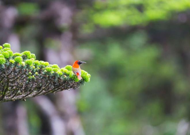 火尾太阳鸟