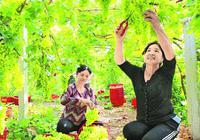 吐鲁番葡萄:产业融合的新依托