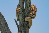 雄獅被追爬上樹