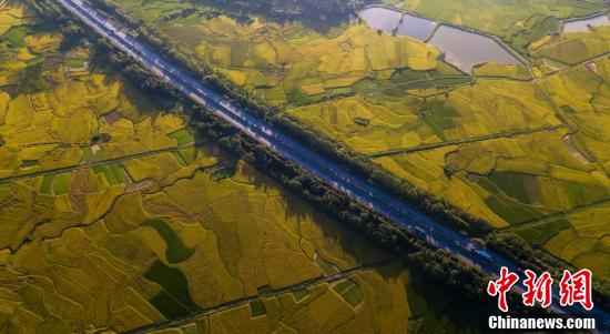 稻田在阳光下,如同黄金铺满大地。