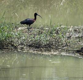 国家二级保护动物彩鹮现身陕西