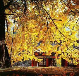 山东泰安古刹千年银杏树遍洒金黄 演绎秋日童话