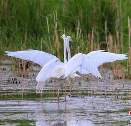 新疆博斯騰湖:白鷺起舞生態美