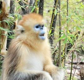 神农架金丝猴进入受孕期