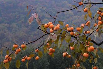 山西平陆:柿子熟了