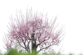 武汉东湖梅园800多岁古梅绽放