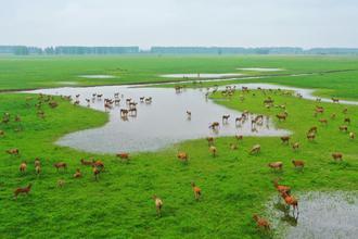 石首:成群麋鹿在草地上栖息觅食
