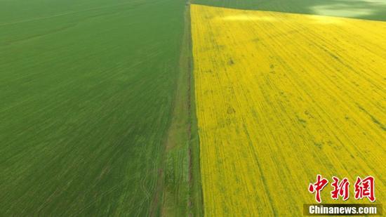 甘肃山丹马场上的燕麦草与盛开的油菜花形成了一道靓丽的分界线。