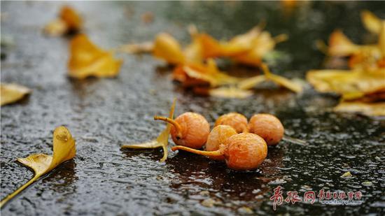 八大关的梧桐落叶最多的时候在十月中旬,一直可以持续到十二月。