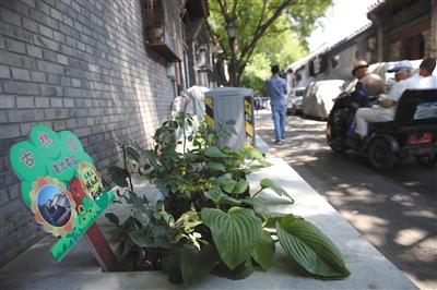 6月1日,东四四条胡同,居民认养的花草。